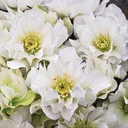 Helleborus Wedding Party® 'Wedding Bells' Alternate Image 1
