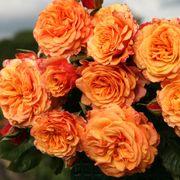 Rosa Crazy Love™