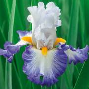 Iris germanica 'Brilliant Idea' image