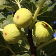 Yellow Long Neck Fig Thumb