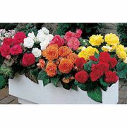 Nonstop Hybrid Mix Begonia Seeds