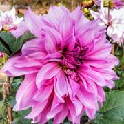 Dahlia Lavender Ruffles