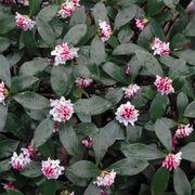 Daphne odora Greenleaf Pink Alternate Image 1