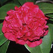 Camellia 'Professor Charles Sargent' Thumb