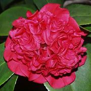 Camellia 'Professor Charles Sargent' image