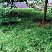 Carex pensylvanica Thumb