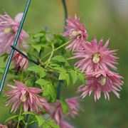 Clematis Zocoro Sparky™ Pink