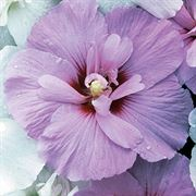 Hibiscus Lavender Chiffon®