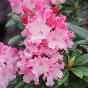 Rhododendron Dandy Man Color Wheel™