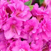 Azalea Perfecto Mundo® Double Purple