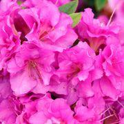 Rhododendron Perfecto Mundo® Double Purple Azalea image