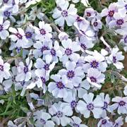Phlox North Hills