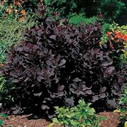 Cotinus 'Royal Purple' image
