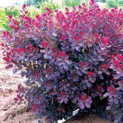Cotinus 'Royal Purple' Alternate Image 1