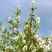 Amelanchier Serviceberry Alternate Image 2