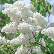 Syringa vulgaris Bridal Memories