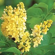 Syringa vulgaris 'Primrose' Thumb
