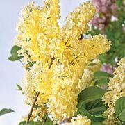 Syringa vulgaris 'Primrose' Alternate Image 1