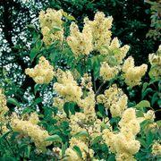 Syringa vulgaris 'Primrose' Alternate Image 2