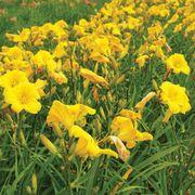 Hemerocallis 'Buttered Popcorn' Alternate Image 3