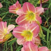 Hemerocallis 'Pink Tirzah' Alternate Image 1