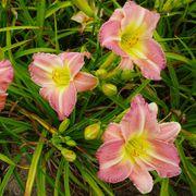 Hemerocallis 'Pink Tirzah' Alternate Image 2