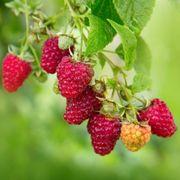 Rubus 'Vintage' Raspberry Thumb