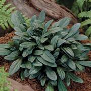 Ajuga 'Chocolate Chip' image