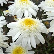 Leucanthemum REALFLOR® Real Comet