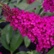 Buddleia Buzz™ Hot Raspberry image