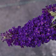 Buddleia Buzz™ Midnight image