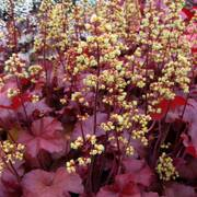 Heuchera Little Cuties™ 'Blondie' image