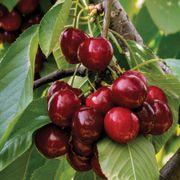 Cherry Compact Stella Thumb