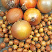 Onion Patterson image