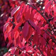 Euonymus 'Compact Burning Bush' image