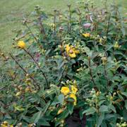Hypericum 'Hidcote' Gold Cup image