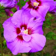 Hibiscus First Editions® Tahiti™