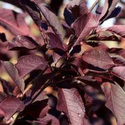 Prunus Canada Red