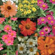 Single Flowered Zinnia Profusion Collection