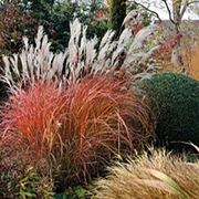 Miscanthus 'Fire Dragon'® Thumb
