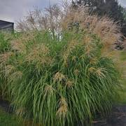 Miscanthus 'Fat Cat' image