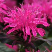 Monarda Balmy Rose image