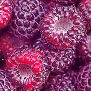 Raspberry 'Royalty' Thumb