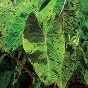 Colocasia 'Mojito' Alternate Image 1