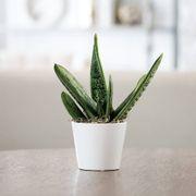 Gasteria Succulent Gift image