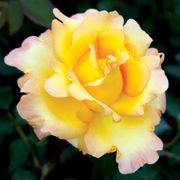 Gold Struck™ Hybrid Tea Rose