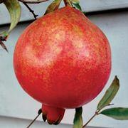 Punica 'Parfianka' Pomegranate Thumb