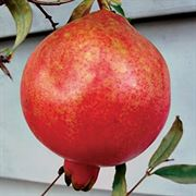 Punica Pomegranate Parfianka image