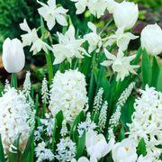 White Garden Bulb Collection Thumb