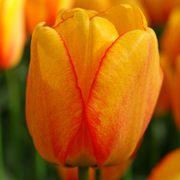 Tulipa 'Blushing Apeldoorn' Thumb